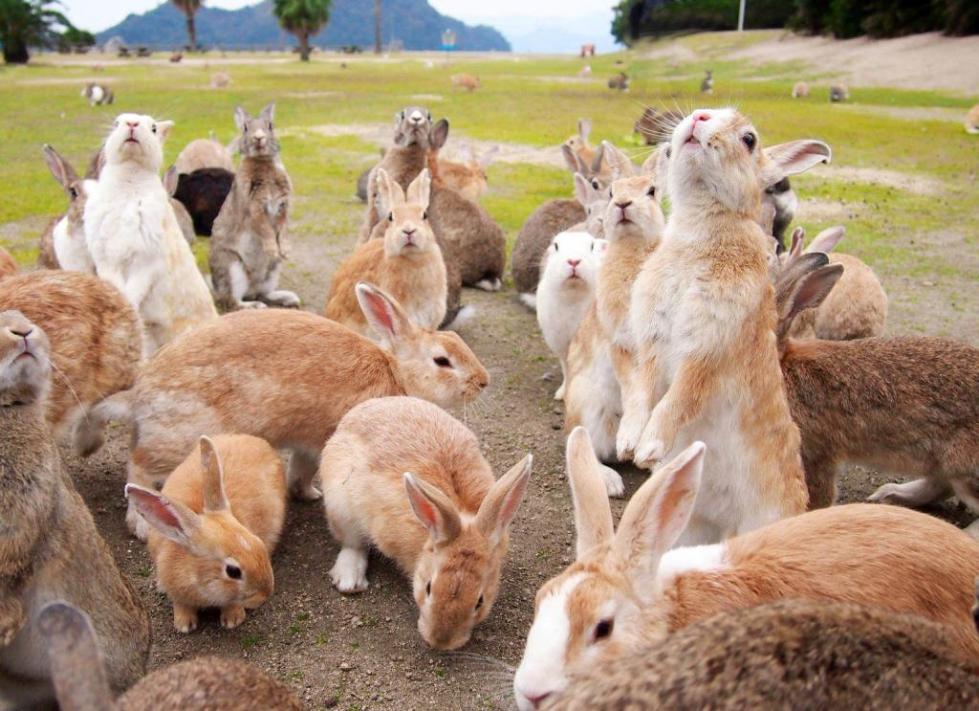 на острове Онукосима очень много кроликов