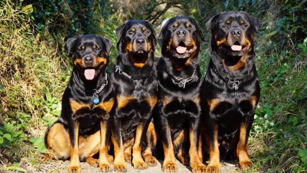 Много псов