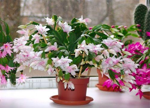 как размножить цветок декабрист
