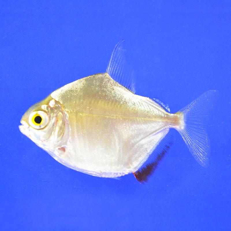 Рыбка Метиннис