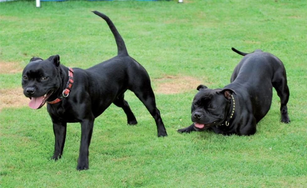 Собаки перед случкой