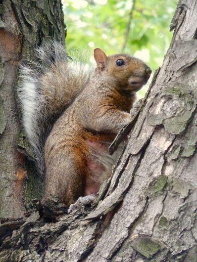 Dickes Eichhörnchen in einer Astgabel in Montreal