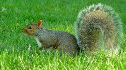 Eichhörnchen aus Montréal im Querformat