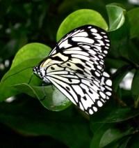 Weiße Baumnymphe