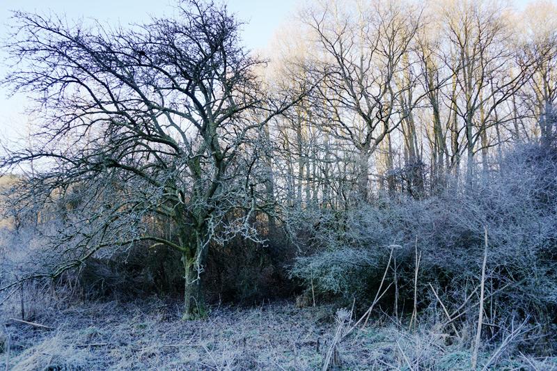 Alter Birnenbaum in Namborn
