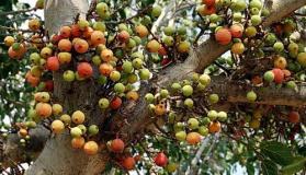 पर्यावरण दिवस पर विशेष : कहानी गूलर के पेड़