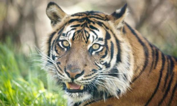 Tiger ate 30 animals in two months
