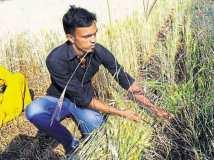 मोदी की रैली के लिए काट दी गई  किसानों की फसल?
