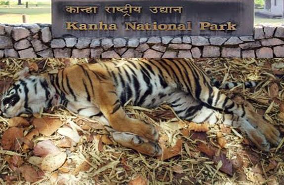 adult tigress death