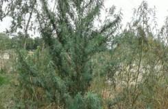 कॉंग्रेसी गढ़ अमेठी में हो रही 'जहर की खेती' !