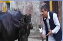 Video Viral:  इस रिपोर्टर ने लिया भैंस का इंटरव्यू