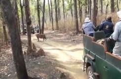 Video : जब सामने आ गई बाघिन, थम गई साँसे