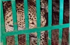 वीडियो : आदमखोर तेंदुए को मुर्गियों से कैसे पकड़ा गया