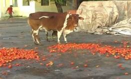 टमाटर फेकने पर मजबूर किसान, सरकार को चेतावनी