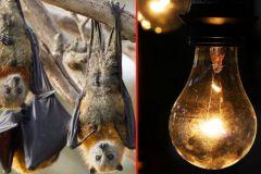 चमगादड़ तार पर उल्टा लटकते हैं, इसलिए मध्य प्रदेश में जाती है बिजली'