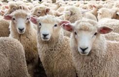 पति ने 71 भेड़ लेकर प्रेमी से किया पत्नी का सौदा, पंचायत का अजीबोगरीब फैसला