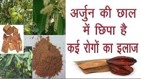 c 42Healthy benefits of the bark of Arjuna tree, these 6 diseases will never happen again in life