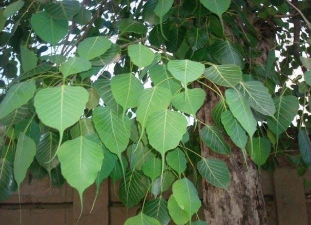 Do-not-plant-peepal-tree-even-after-forgetting-it-at-home