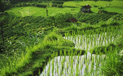 Denpasar rice field