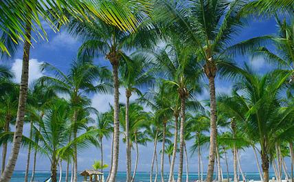 Punta Cana palm leaves
