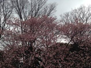 Sakura (cherry blossom) flower