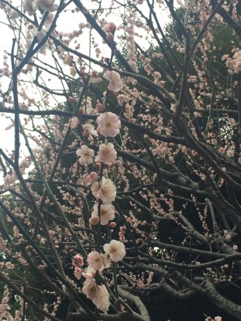 Ume (plum tree) flower