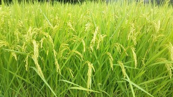 Ear of Rice in August