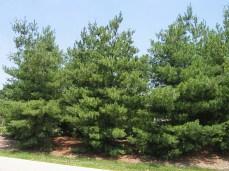 group_x_10-08-white_pine_1893