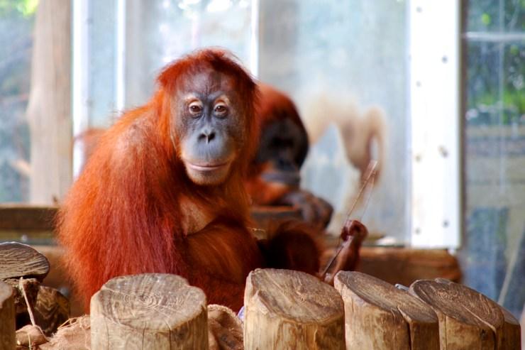 Sumatran Orangatang feature image