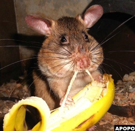 APOPO HeroRat retirement land mines removal