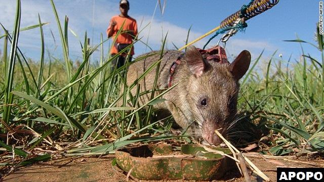 APOPO HeroRat land mines removal