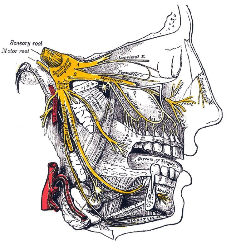 Trigeminal Nerve - the major ice-cream headache culprit