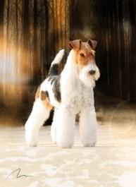 Fotografia de Cães. Raça Fox Terrier Pelo Duro