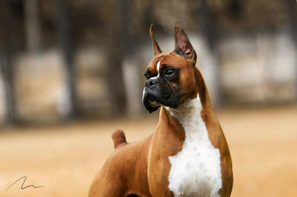 Fotografia de cão da raça Boxer