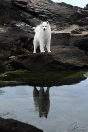 Fotografia cão da raça Samoieda