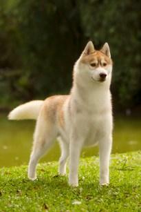 Fotografia do cão da raça Husky Siberiano - Rolex