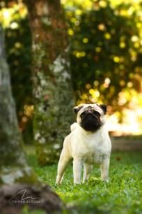 Foto cão Pug