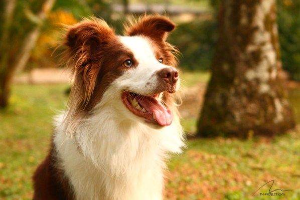 Foto cão border collie