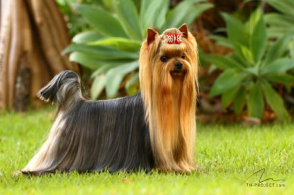 Foto cão yorkshire