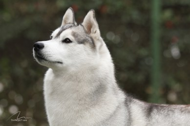 imagem foto cão husky siberiano olhando