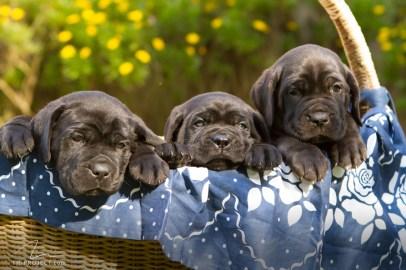 imagem foto 3 filhotes cane corso