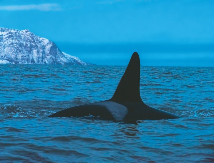 Ode to an Orca