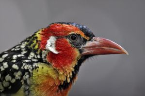 Red and Yellow Barbet by Rob Bobert