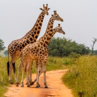 7-Million-Year-Old Fossils Show How the Giraffe Got Its Long Neck