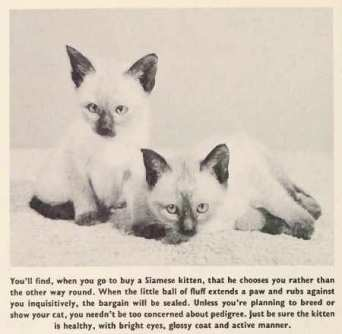 siamese-cat-history-photos-of-kittens