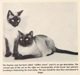 siamese-cat-history-photos6