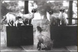 past-siamese-cats-1