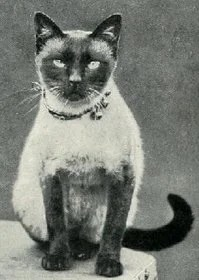 applehead-siamese-cats-01