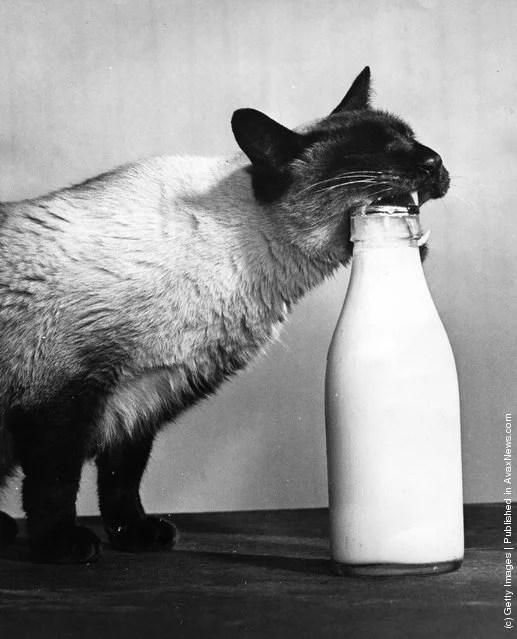 interesting-old-photos-of-cats-9