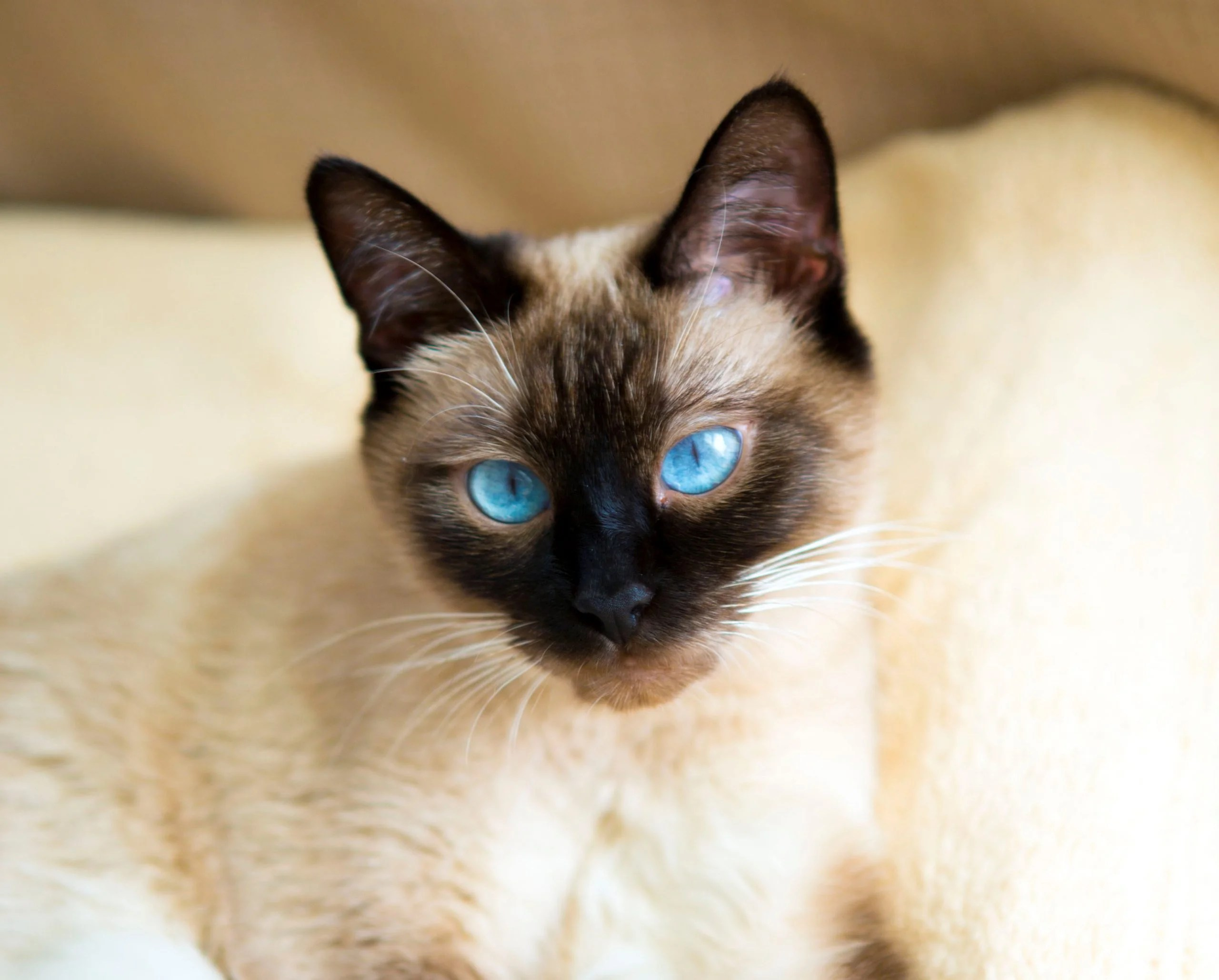 Siamese Kittens Available For Sale In Maryland